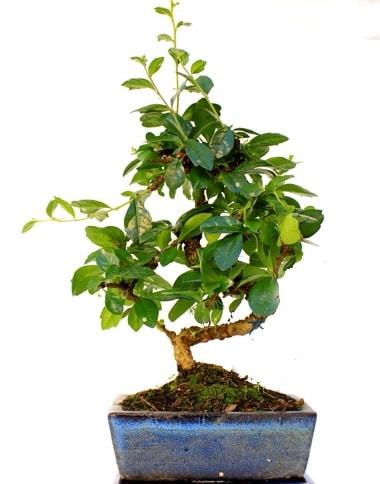 S gövdeli carmina bonsai ağacı  Sakarya cicekciler , cicek siparisi  Minyatür ağaç