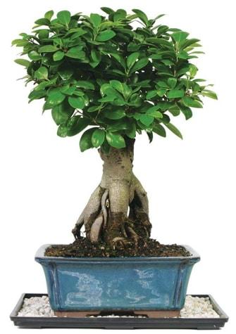 Bonsai Ginsing Grafted Ficus Bonsai  Sakarya cicekciler , cicek siparisi
