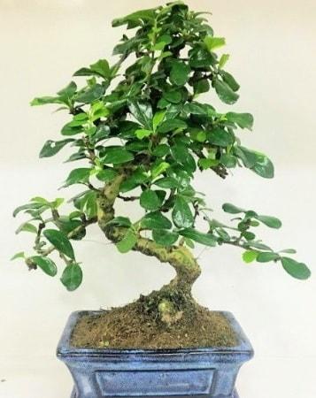 Zelkova S gövdeli Minyatür ağaç Bonzai  Sakarya uluslararası çiçek gönderme