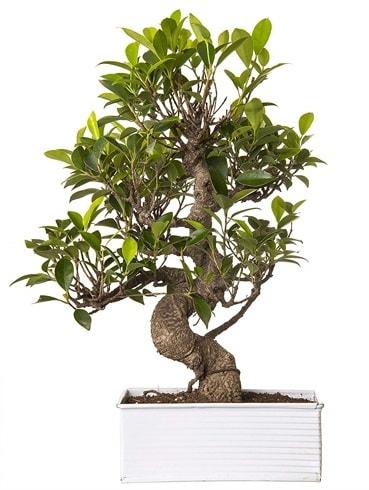 Exotic Green S Gövde 6 Year Ficus Bonsai  Sakarya cicek , cicekci